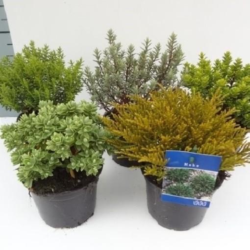 Hebe MIX (About Plants Zundert BV)