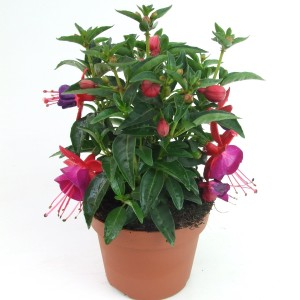 Fuchsia 'Tom Thumb'