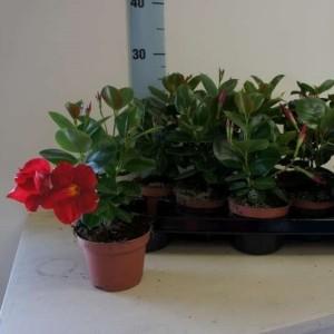 Mandevilla MIX (Plantcare BVBA)