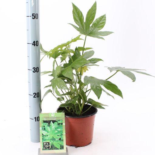 Fatsia japonica (About Plants Zundert BV)