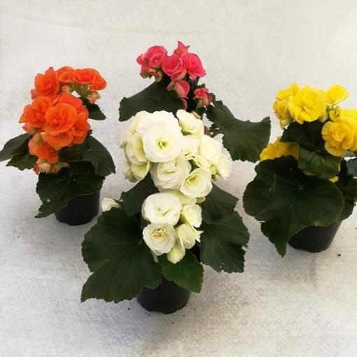 Begonia ELIATOR MIX (Gasa DK)
