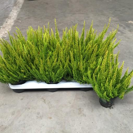 Calluna vulgaris SKYLINE MONACO (Experts in Green)