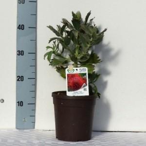 Leucospermum 'Ayoba Red'