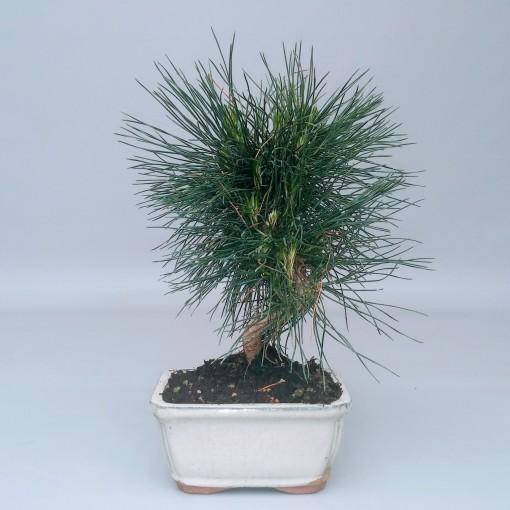 Pinus thunbergii (Trendy Bonsai BV)
