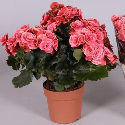 Begonia BORIAS (Amstelzicht BV)