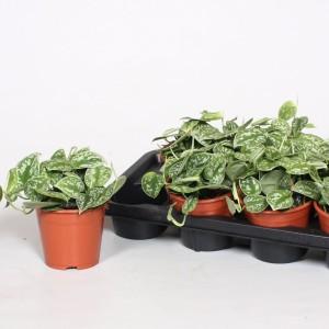 Scindapsus pictus (BK Plant)