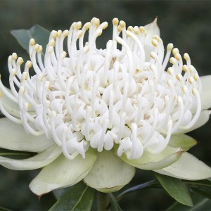 Telopea SHADY LADY WHITE (Flora Toscana)