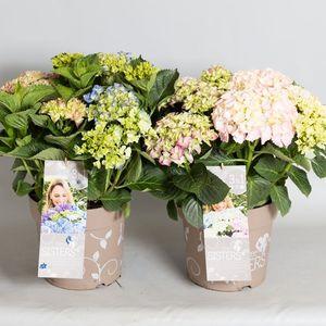 Hydrangea macrophylla THREE SISTERS MIX