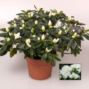Rhododendron 'Irish Lace' (FlorAmor)