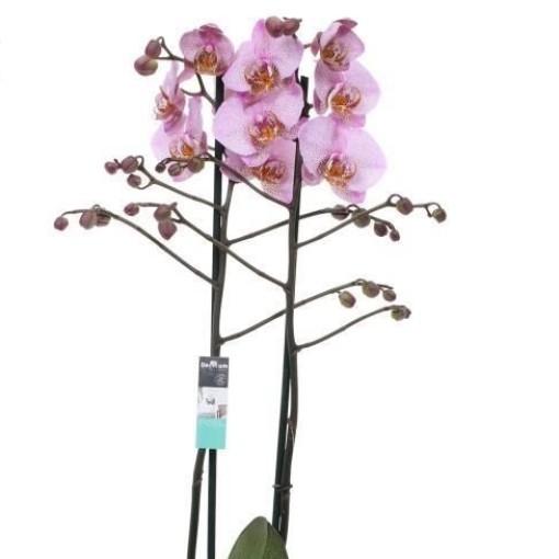 Phalaenopsis ANTHURA MANHATTAN (Ter Laak Orchids Midiflora)