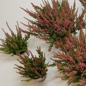 Calluna vulgaris 'Red Sun' (Experts in Green)
