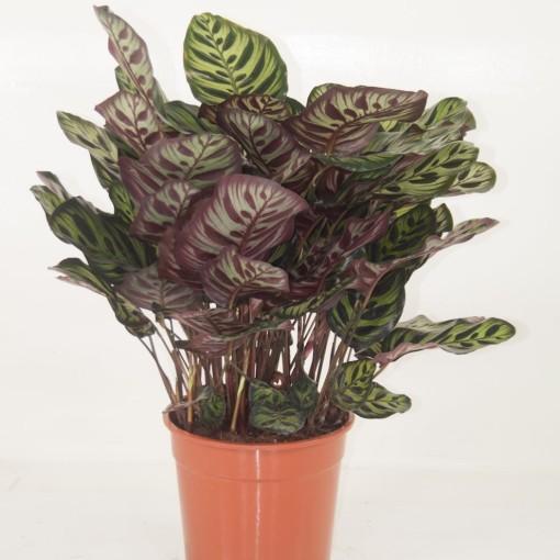 Calathea makoyana (Ammerlaan, The Green Innovater)