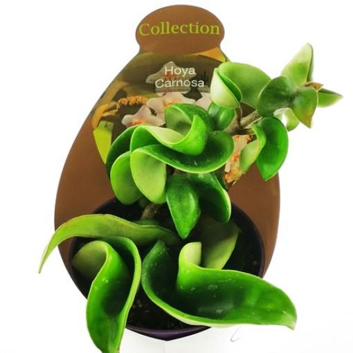 Hoya carnosa (Giromagi)