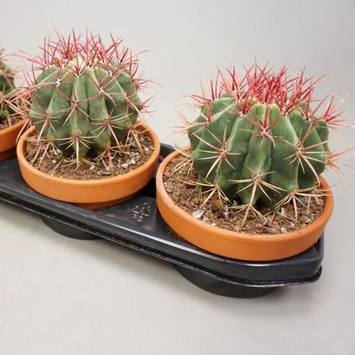 Ferocactus pilosus (Ubink)