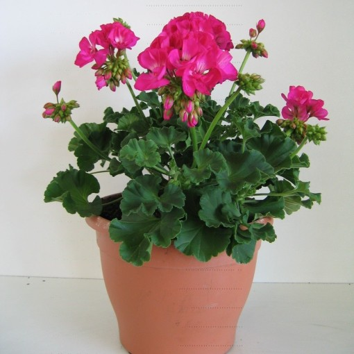 Pelargonium ZONALE MIX (Kwekerij Baas)