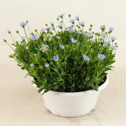 Felicia amelloides FELICITARA BLUE (Adrichem Potplanten)