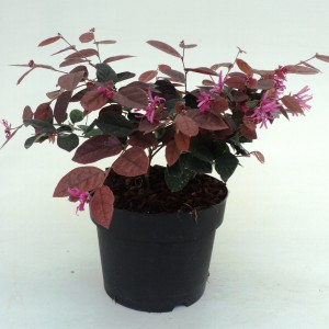 Loropetalum chinense 'Fire Dance' (Dool Botanic)