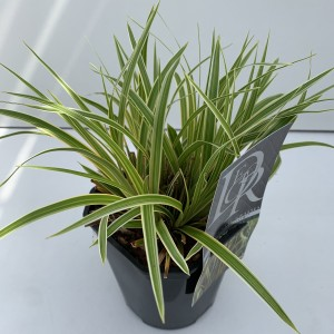 Carex morrowii EVERCOLOR EVERGLOW
