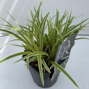 Carex morrowii EVERCOLOR EVERGLOW