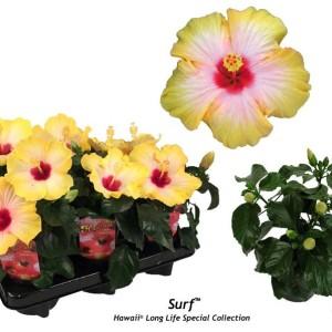 Hibiscus rosa-sinensis 'Surf'