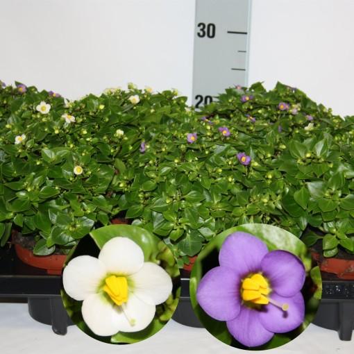 Exacum affine MIX (Van Dijk Potplanten)