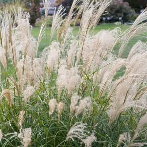 Miscanthus sinensis 'Adagio' (About Plants Zundert BV)