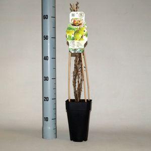 Ribes uva-crispa 'Hinnonmäki Grön'