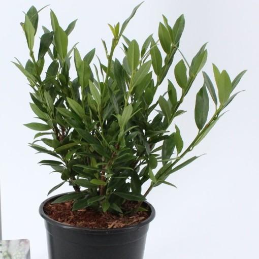 Prunus laurocerasus 'Gajo' (About Plants Zundert BV)
