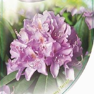 Rhododendron 'Roseum Elegans' (Dool Botanic)