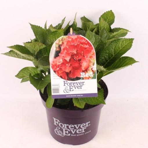 Hydrangea macrophylla FOREVER & EVER RED (van der Velden, Hkw.)
