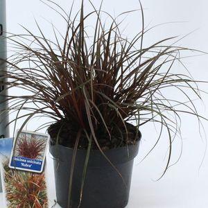 Uncinia uncinata 'Rubra' (About Plants Zundert BV)
