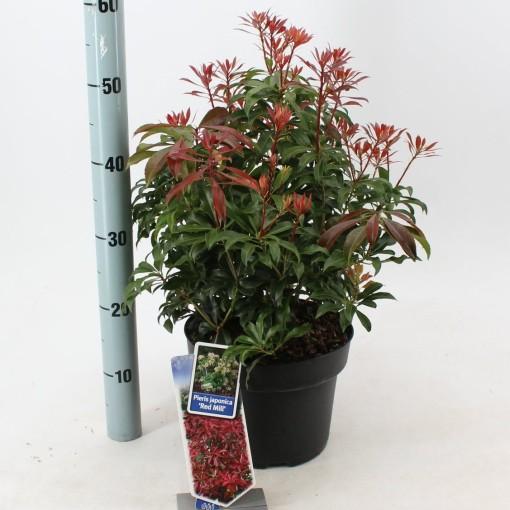 Pieris japonica 'Red Mill' (About Plants Zundert BV)