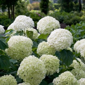 Hydrangea arborescens STRONG ANNABELLE / INCREDIBALL (Son & Koot BV)