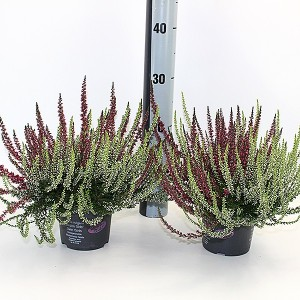 Calluna vulgaris GARDEN GIRLS MIX IN POT TWIN