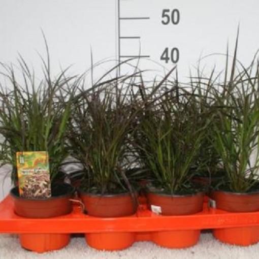 Pennisetum advena 'Rubrum' (Experts in Green)