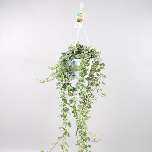 Hedera helix 'White Wonder' (Vireõ Plant Sales)