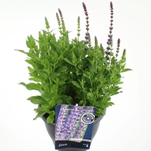 Salvia nemorosa 'Ostfriesland' (Noordpoel, Kwekerij de)