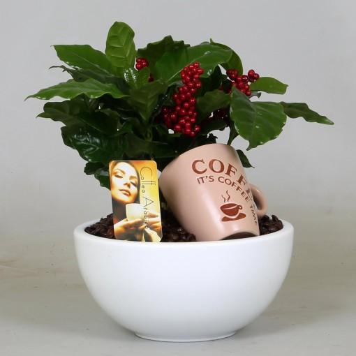 Arrangements Coffea (Groot BV, Kwekerij J. de)