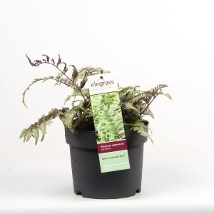 Athyrium niponicum pictum (Hoogeveen Plants)
