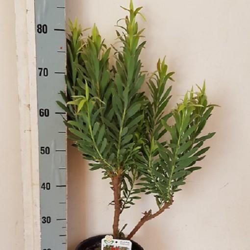 Leucadendron 'Blush of Dawn' (Flora Toscana)