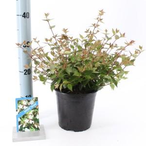 Abelia x grandiflora 'Sherwood' (About Plants Zundert BV)