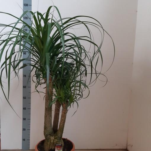 Beaucarnea recurvata (Corsa plant)