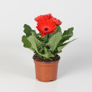 Gerbera COLOURGAME ROOD