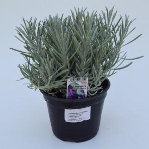 Lavandula angustifolia angustifolia