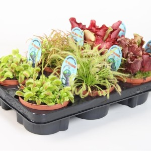 Carnivorous plants MIX (Stricker Plants)