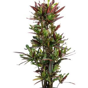 Codiaeum variegatum 'Mamey'