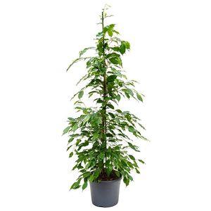 Ficus benjamina 'Exotica' (Nieuwkoop Europe B.V.)