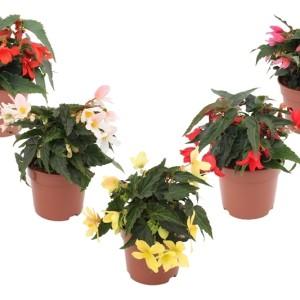 Begonia WATERFALL MIX