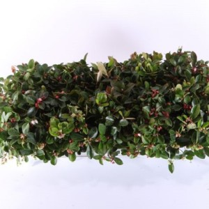 Gaultheria procumbens (Experts in Green)