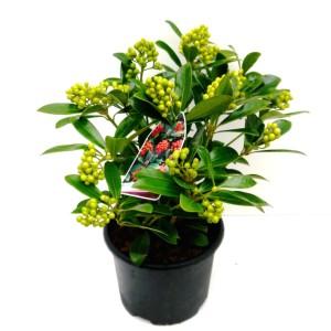 Skimmia japonica 'Temptation'